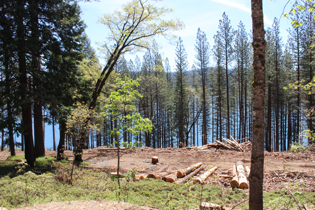 Slash Pile from logging work at Sly Park Recreation Area beetle infestated trees May 4 2017