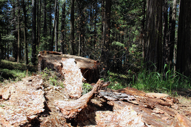 Bark Beetle Infestation from Logging Work at Sly Park Recreation Area May 4 2017
