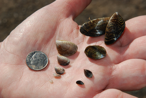Photo showing how small quagga mussels can be. On a hand with dime and mulple stages of growth.